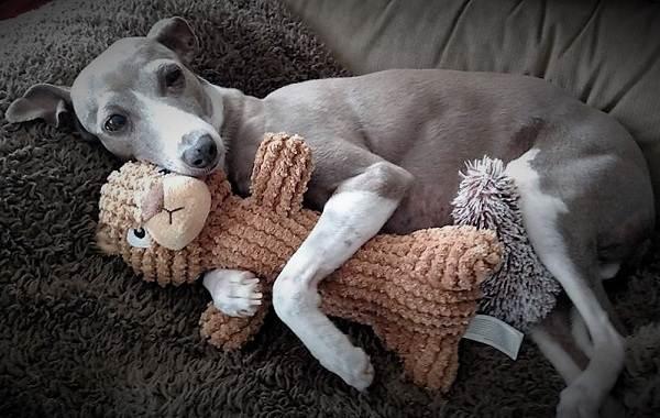 Левретка-собака-Описание-особенности-виды-уход-и-цена-породы-левретка-12