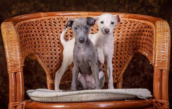 Левретка-собака-Описание-особенности-виды-уход-и-цена-породы-левретка-15