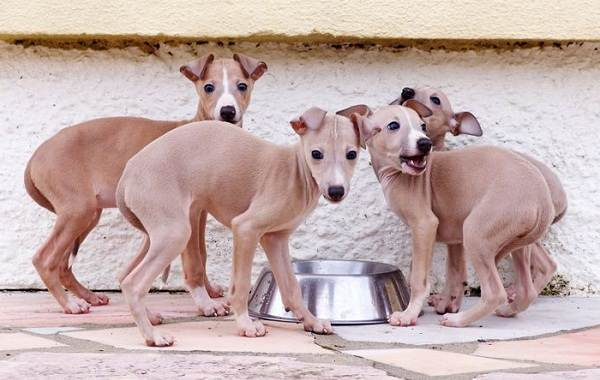 Левретка-собака-Описание-особенности-виды-уход-и-цена-породы-левретка-17