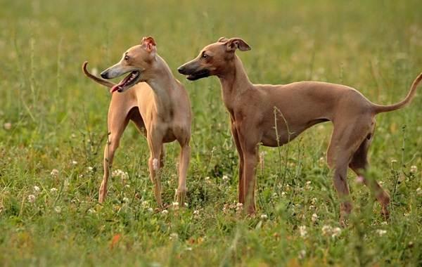 Левретка-собака-Описание-особенности-виды-уход-и-цена-породы-левретка-2
