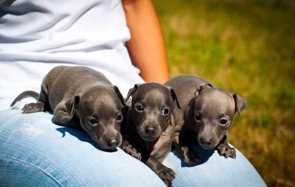 Левретка-собака-Описание-особенности-виды-уход-и-цена-породы-левретка-23