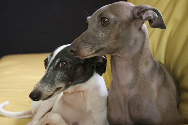 Левретка-собака-Описание-особенности-виды-уход-и-цена-породы-левретка-3