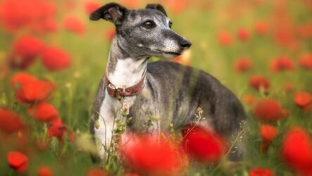 Левретка собака. Описание, особенности, виды, уход и цена породы левретка