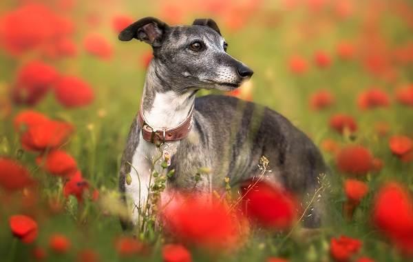 Левретка-собака-Описание-особенности-виды-уход-и-цена-породы-левретка-4