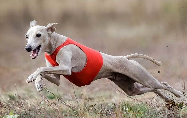 Левретка-собака-Описание-особенности-виды-уход-и-цена-породы-левретка-6