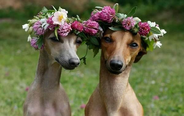 Левретка-собака-Описание-особенности-виды-уход-и-цена-породы-левретка-7