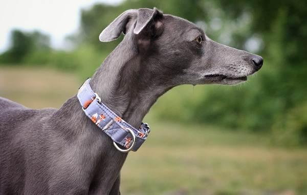 Левретка-собака-Описание-особенности-виды-уход-и-цена-породы-левретка-8