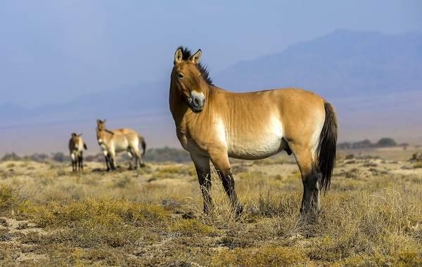 Лошадь-Пржевальского-Описание-особенности-виды-образ-жизни-и-среда-обитания-животного-1