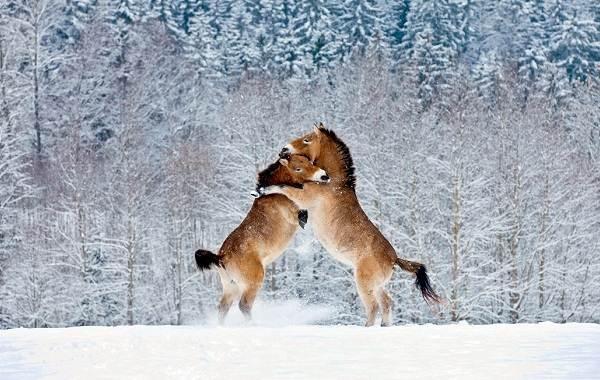 Лошадь-Пржевальского-Описание-особенности-виды-образ-жизни-и-среда-обитания-животного-10