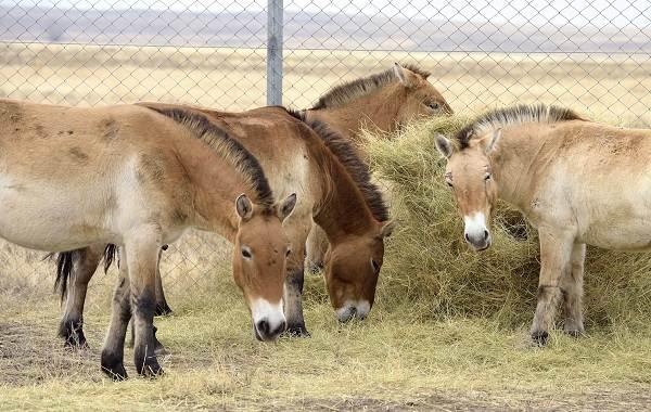Лошадь-Пржевальского-Описание-особенности-виды-образ-жизни-и-среда-обитания-животного-11