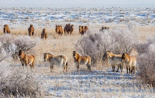 Лошадь-Пржевальского-Описание-особенности-виды-образ-жизни-и-среда-обитания-животного-12