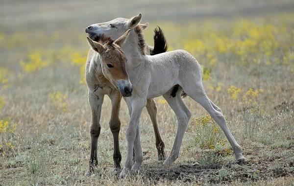 Лошадь-Пржевальского-Описание-особенности-виды-образ-жизни-и-среда-обитания-животного-14