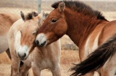Лошадь Пржевальского. Описание, особенности, виды, образ жизни и среда обитания животного