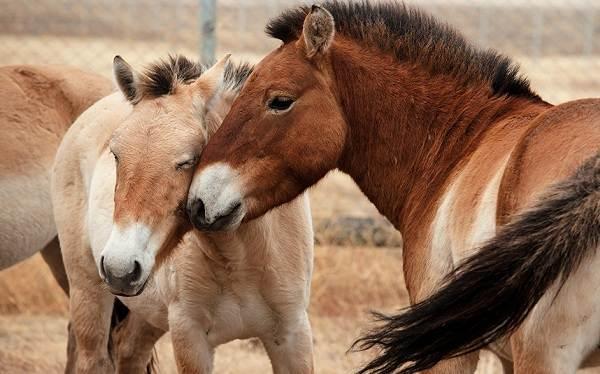 Лошадь-Пржевальского-Описание-особенности-виды-образ-жизни-и-среда-обитания-животного-2