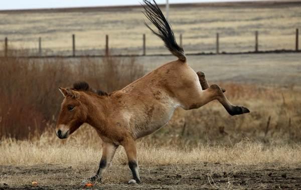 Лошадь-Пржевальского-Описание-особенности-виды-образ-жизни-и-среда-обитания-животного-3
