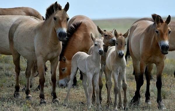 Лошадь-Пржевальского-Описание-особенности-виды-образ-жизни-и-среда-обитания-животного-5