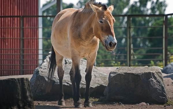 Лошадь-Пржевальского-Описание-особенности-виды-образ-жизни-и-среда-обитания-животного-6