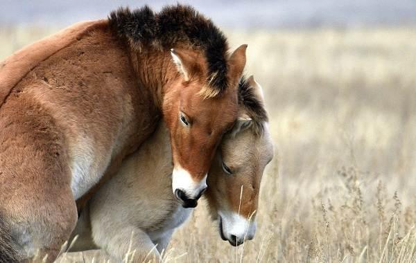 Лошадь-Пржевальского-Описание-особенности-виды-образ-жизни-и-среда-обитания-животного-7