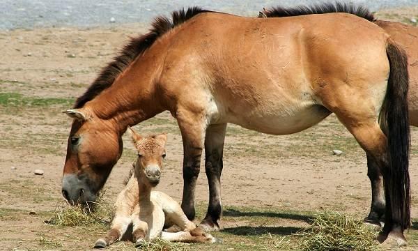 Лошадь-Пржевальского-Описание-особенности-виды-образ-жизни-и-среда-обитания-животного-9
