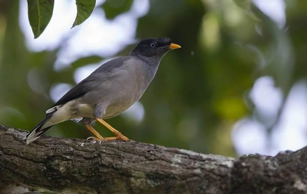 Майна-птица-Описание-особенности-виды-образ-жизни-и-среда-обитания-майны-10