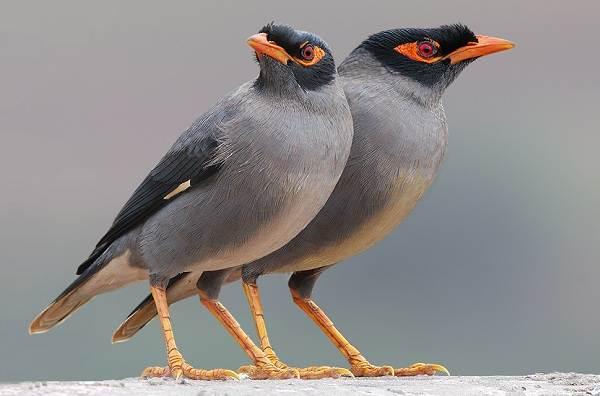 Майна-птица-Описание-особенности-виды-образ-жизни-и-среда-обитания-майны-11