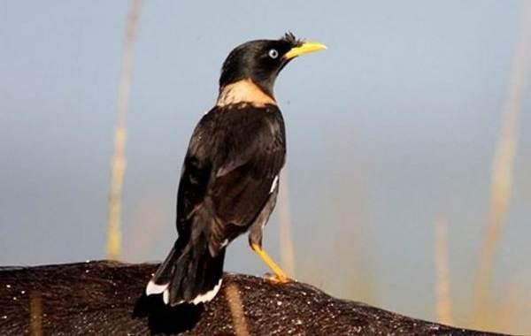 Майна-птица-Описание-особенности-виды-образ-жизни-и-среда-обитания-майны-13