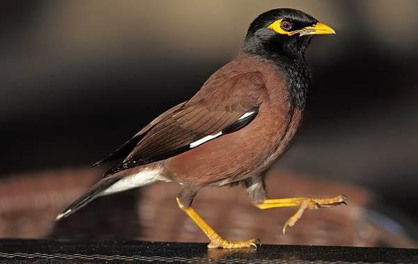 Майна-птица-Описание-особенности-виды-образ-жизни-и-среда-обитания-майны-14