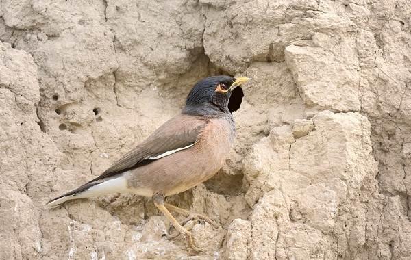 Майна-птица-Описание-особенности-виды-образ-жизни-и-среда-обитания-майны-15