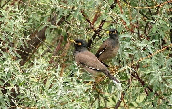 Майна-птица-Описание-особенности-виды-образ-жизни-и-среда-обитания-майны-16