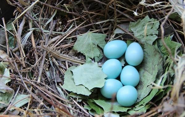 Майна-птица-Описание-особенности-виды-образ-жизни-и-среда-обитания-майны-17