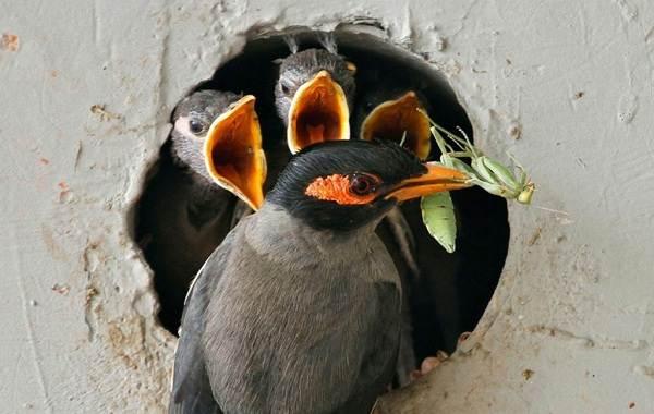 Майна-птица-Описание-особенности-виды-образ-жизни-и-среда-обитания-майны-18