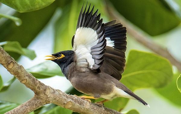 Майна-птица-Описание-особенности-виды-образ-жизни-и-среда-обитания-майны-19