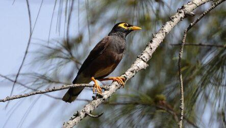 Майна птица. Описание, особенности, виды, образ жизни и среда обитания майны