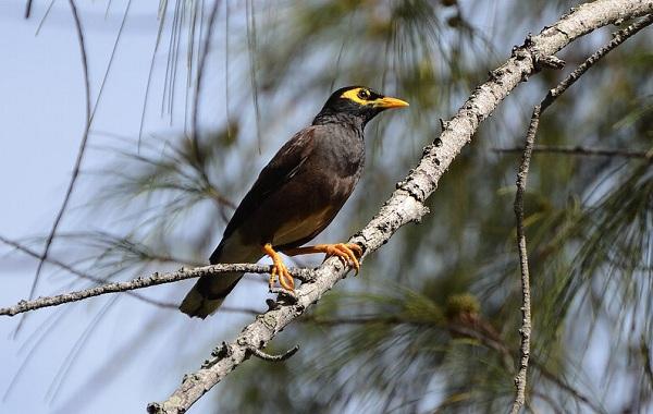 Майна-птица-Описание-особенности-виды-образ-жизни-и-среда-обитания-майны-20