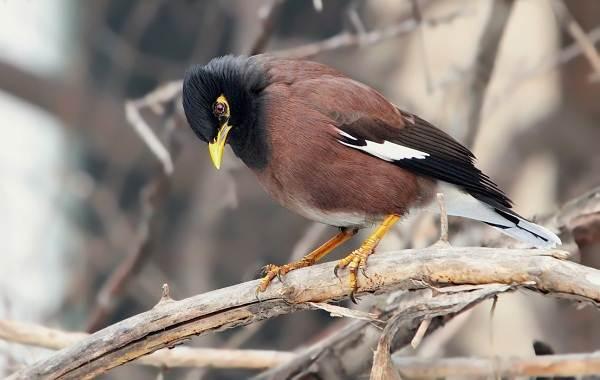 Майна-птица-Описание-особенности-виды-образ-жизни-и-среда-обитания-майны-6