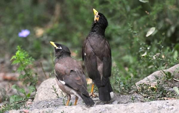 Майна-птица-Описание-особенности-виды-образ-жизни-и-среда-обитания-майны-8