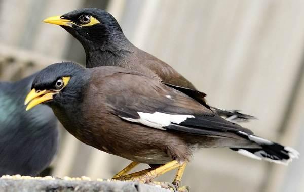 Майна-птица-Описание-особенности-виды-образ-жизни-и-среда-обитания-майны