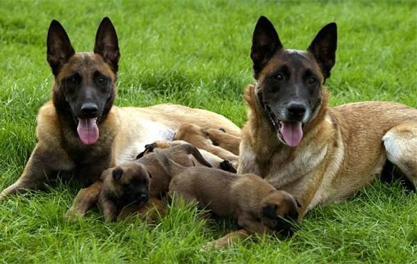 Малинуа-собака-Описание-особенности-виды-уход-и-цена-породы-малинуа-10