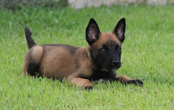 Малинуа-собака-Описание-особенности-виды-уход-и-цена-породы-малинуа-11