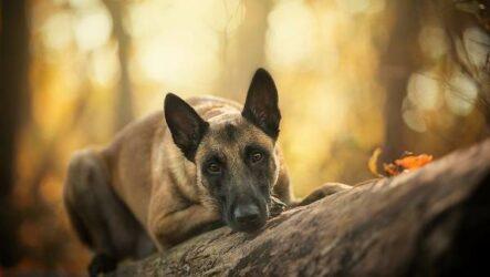 Малинуа собака. Описание, особенности, виды, уход и цена породы малинуа