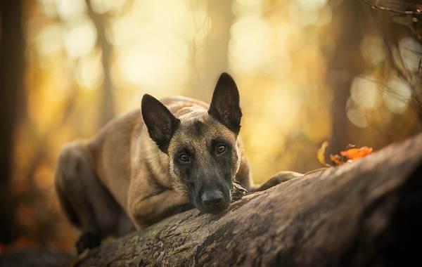 Малинуа-собака-Описание-особенности-виды-уход-и-цена-породы-малинуа-12