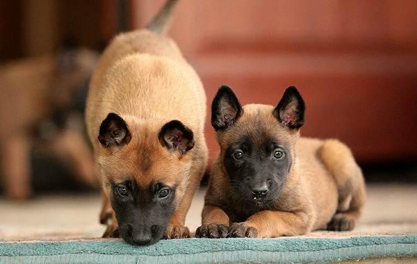 Малинуа-собака-Описание-особенности-виды-уход-и-цена-породы-малинуа-13