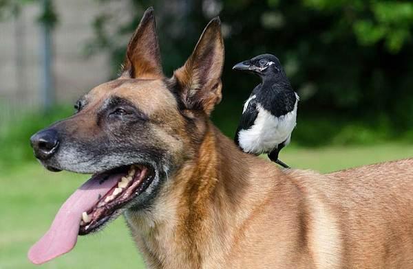 Малинуа-собака-Описание-особенности-виды-уход-и-цена-породы-малинуа-14