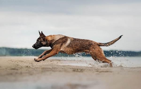 Малинуа-собака-Описание-особенности-виды-уход-и-цена-породы-малинуа-15