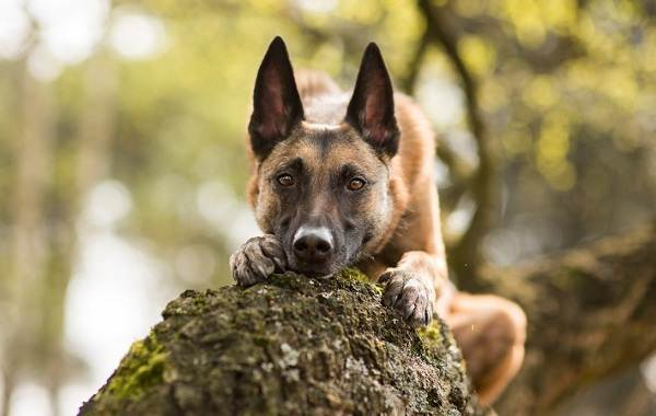Малинуа-собака-Описание-особенности-виды-уход-и-цена-породы-малинуа-18