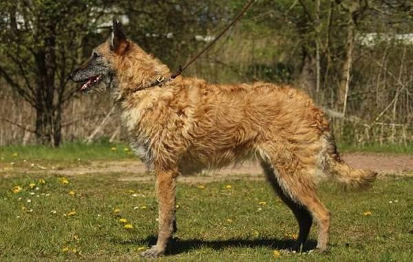Малинуа-собака-Описание-особенности-виды-уход-и-цена-породы-малинуа-19