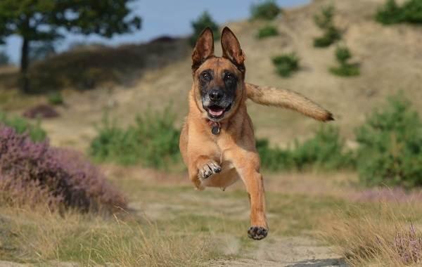 Малинуа-собака-Описание-особенности-виды-уход-и-цена-породы-малинуа-2