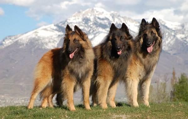 Малинуа-собака-Описание-особенности-виды-уход-и-цена-породы-малинуа-21