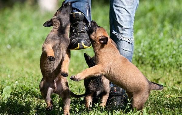 Малинуа-собака-Описание-особенности-виды-уход-и-цена-породы-малинуа-22