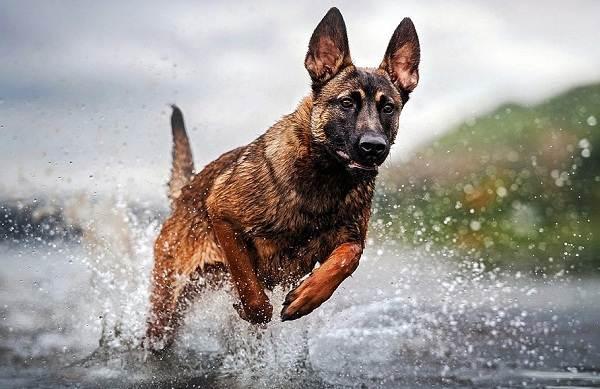 Малинуа-собака-Описание-особенности-виды-уход-и-цена-породы-малинуа-3